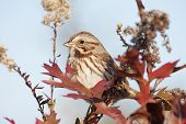 Song Sparrow (Melospiza melodia) in a bush with fall colors poster