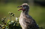 Closeup on a young seagull chick with it's tongue sticking out poster