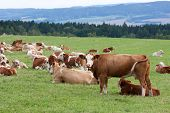 Brown and white dairy cows in pasture Czech Republic poster