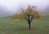Broadleaved tree in a white autumn fog poster