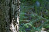 A five lined skink on the base of a tree. poster