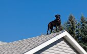 A black lab barking from the peak of the roof of his owners house providing security. poster