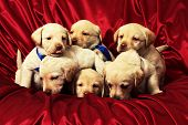 group of puppies on red background poster