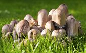 Cluster of Mushrooms on Grass Lawn Taken at Low Angle with Shallow Depth of Field poster