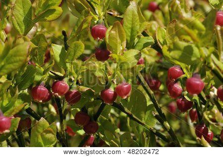 Bilberry flowers