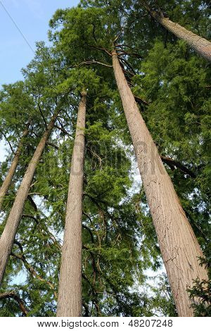 Bald Cypress Or Taxodium Distichum
