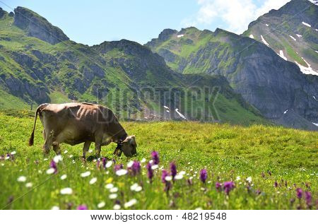 Cow in an Alpine meadow. Melchsee-Frutt, Switzerland poster
