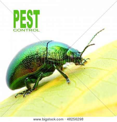 The Mint beetle (Chrysomela coerulans) is dangerous pest in herbal garden. poster