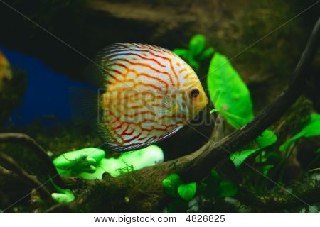 Orange Discus Fish In Aquarium