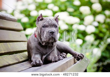 adorable blue cane corso puppy on a bench poster
