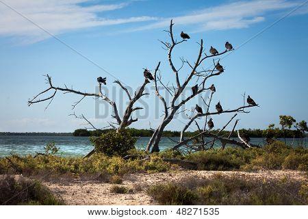 Turkey Vulture (Cathartes aura) sit on a tree near a reservoir