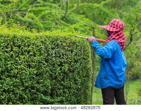 Professional Gardener Pruning An Hedge In Tropical Park