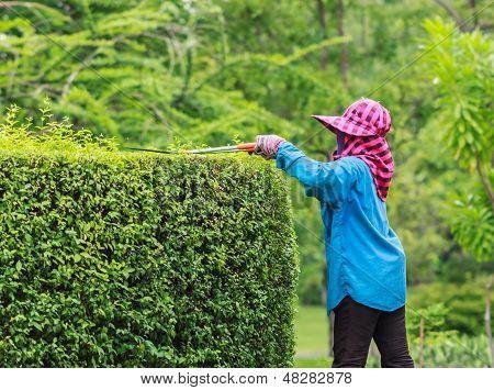 Woman Gardener pruning an hedge