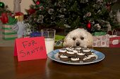 Maltipoo Puppy Checking Out Santa's Christmas Cookies poster