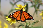 Monarch Butterfly (danaus plexippus) on yellow flowers in spring poster