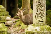 Nara deer roam free in Nara Park, Japan. poster