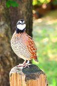 Northern Bobwhite (Colinus virginianus), also called quick frozen quail, found in Oklahoma poster