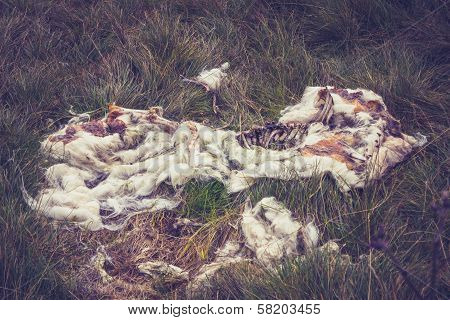The Remains Of A Decomposed Sheep, Only Wool And Bones Left