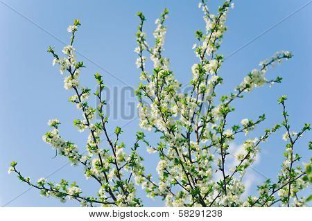 White Flowers Of Freshness Blossom Tree On A Sky Backgrounds