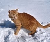 Red cat walks on March snow greeting the spring poster