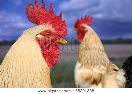 Two roosters on field