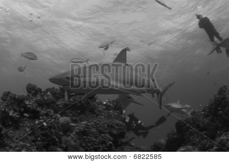 Caribbean reef sharks cruising a reef in Murial Gardens poster