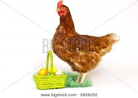 Hen In Studio