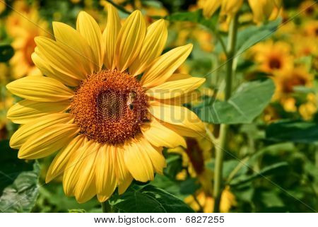 Honey bee on sunflower in field, closeup poster