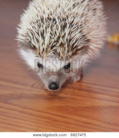 Alert Hedgehog On Wooden Floor
