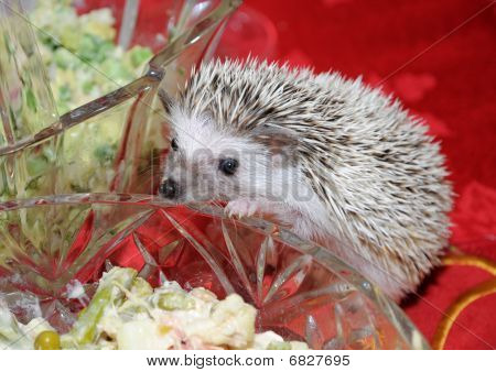 Hedgehog Looking Into Salad Bowl