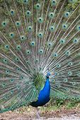 Portrait of an indian peafowl (Pavo cristatus) with its tail opened poster