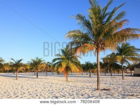 Palm trees on the white sand. Playa Sirena. Cayo Largo. Cuba. poster