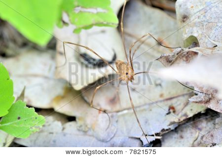 Harvestman - Daddy Longlegs Class: Arachnida / Order: Opiliones