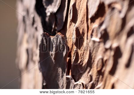 Bark of a pine tree in the Boboli gardens in Florence poster