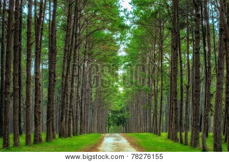 Pine Agroforestry