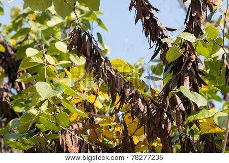 Beans Of Judas Tree