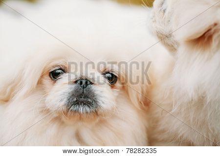White Pekingese Pekinese Peke Whelp Puppy Dog Close Portrait poster