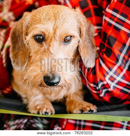 Wirehaired Dachshund Sits In Hands Of Mistress. Close Up Dog Portrait