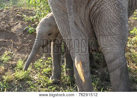 Baby African Elephant Near The Mother