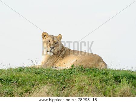 Lioness Looks Alert