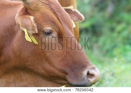 Portrait Of A Zebu Cow