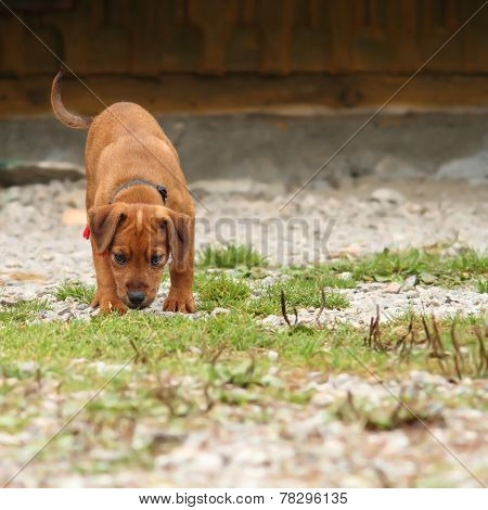 Young Hunting Dog In Training