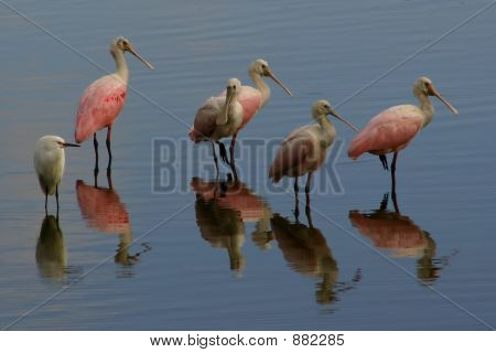 A Group Of Roseate Spoonbills And One Snowy Egret