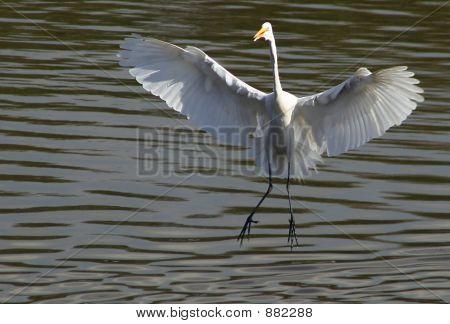 Great Egret Landing On Water