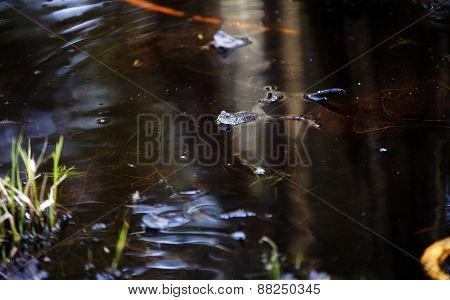 Frog swimming in a murky swamp