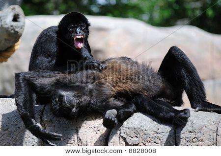 Monkey Drama