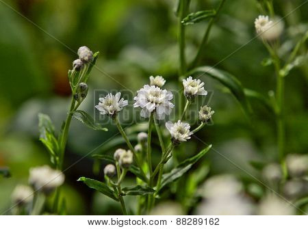 Close up on white flowers and buds in a garden.