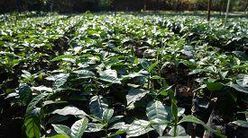 Plantation For Raising Coffee Plants In Jarabacoa