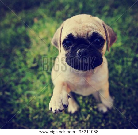a cute chihuahua pug mix puppy (chug) looking at the camera with with grass in his mouth in a backyard during summer (SHALLOW DOF)