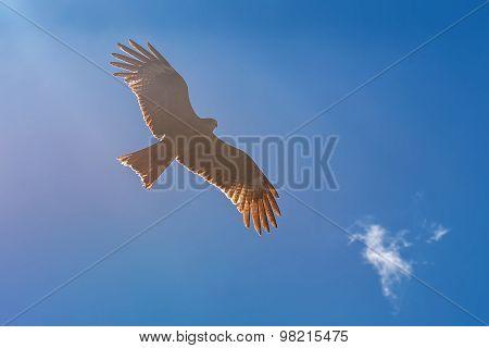 Kite Bird Sky